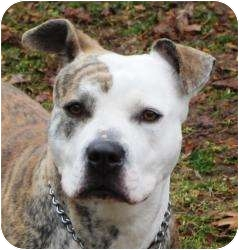 American Pit Bull Terrier Mix Dog for adoption in Bloomfield, Connecticut - Pupetta