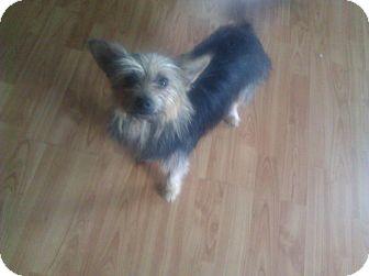 Yorkie, Yorkshire Terrier Dog for adoption in Inglewood, California - Chloe