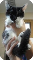 Domestic Shorthair Cat for adoption in Spruce Pine, North Carolina - Orly