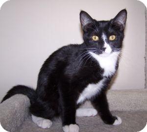 Domestic Shorthair Kitten for adoption in Colorado Springs, Colorado - K-Sitka2-Babycakes