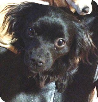 Tibetan Spaniel/Pekingese Mix Dog for adoption in Snohomish, Washington - Lucky