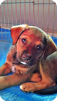 Labrador Retriever/Australian Shepherd Mix Puppy for adoption in Gig Harbor, Washington - Derby