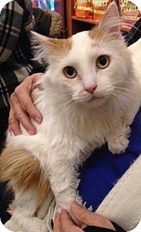 Ragdoll Cat for adoption in Palatine, Illinois - Addison
