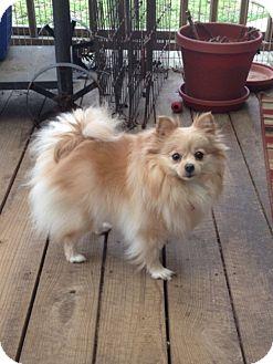 Pomeranian Dog for adoption in conroe, Texas - Praise