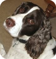 English Springer Spaniel Dog for adoption in Minneapolis, Minnesota - Cash