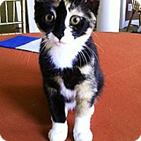 Adopt A Pet :: Cali - Reston, VA