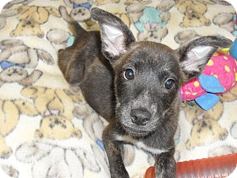 Blue Heeler Mix Puppy for adoption in Fort Lupton, Colorado - Lady Gadiva
