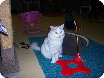 Domestic Mediumhair Cat for adoption in Glendale, Arizona - SHY SHY