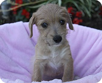 Terrier (Unknown Type, Small) Mix Puppy for adoption in Newport Beach, California - STELLA
