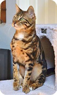 Bengal Cat for adoption in Davis, California - Sundar