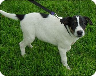 Border Collie/German Shepherd Dog Mix Puppy for adoption in Normandy, Tennessee - Rachel