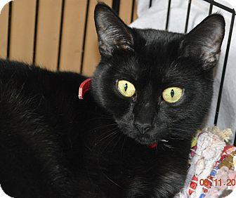 Domestic Shorthair Cat for adoption in Chicago, Illinois - Sheba