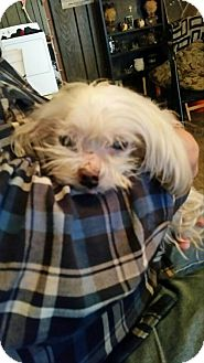 Maltese Dog for adoption in Conesus, New York - Manny