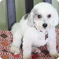 Adopt A Pet :: Molly - great therapy dog - Norwalk, CT