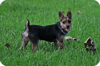 Cairn Terrier/Brussels Griffon Mix Dog for adoption in Bend, Oregon - Rianna