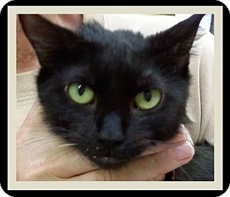 Domestic Shorthair Cat for adoption in Red Bluff, California - STAR