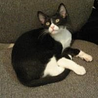 Domestic Shorthair Cat for adoption in Houston, Texas - Bobbi Jones