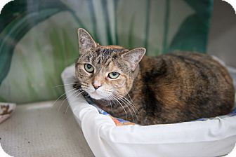 Domestic Shorthair Cat for adoption in New York, New York - Tootsie