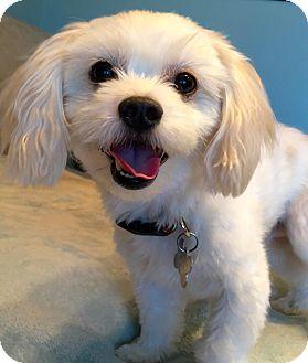 Maltese/Poodle (Miniature) Mix Dog for adoption in San Pedro, California - Gilly