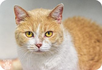 Domestic Shorthair Cat for adoption in Martinsville, Indiana - Peaches