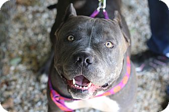 American Staffordshire Terrier Mix Dog for adoption in Middlebury, Connecticut - Peanut