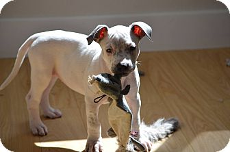 Pit Bull Terrier Mix Puppy for adoption in Mission Viejo, California - Lilly