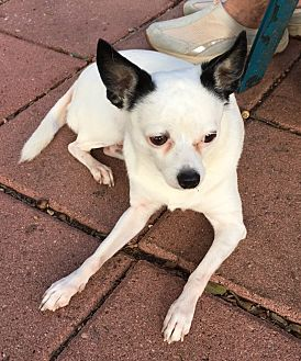 Chihuahua Dog for adoption in Austin, Texas - Molly in San Antonio/Seguin