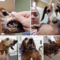 Dachshund Mix Dog for adoption in Blanchard, Oklahoma - Henry