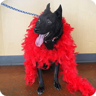 Schipperke Mix Dog for adoption in Denver, Colorado - Joey