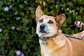 Corgi/Thai Ridgeback Mix Dog for adoption in San Diego, California - Apinya