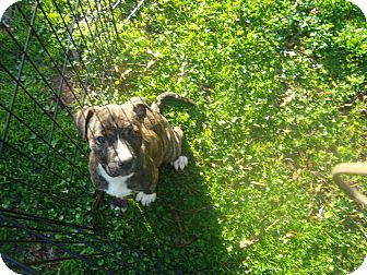 Boxer/American Staffordshire Terrier Mix Puppy for adoption in Old Bridge, New Jersey - Julie