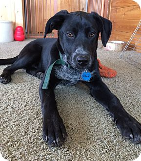 Labrador Retriever/Cattle Dog Mix Dog for adoption in Ada, Minnesota - Stevie fostered in Minneapolis