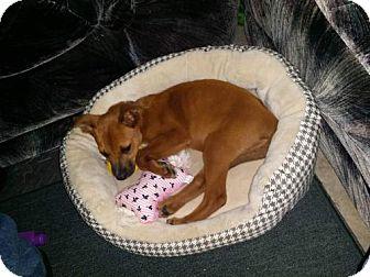 Labrador Retriever Mix Puppy for adoption in ROSENBERG, Texas - Penny