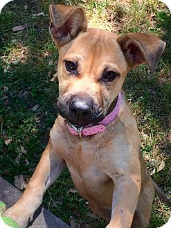 Black Mouth Cur Mix Puppy for adoption in West Hartford, Connecticut - Greta