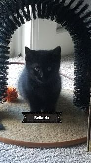 Domestic Shorthair Kitten for adoption in Millerstown, Pennsylvania - BELLATRIX