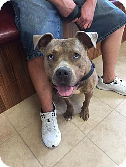 Pit Bull Terrier Mix Dog for adoption in St Louis, Missouri - Cheeto