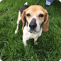 Adopt A Pet :: Cheyenne - Downingtown, PA
