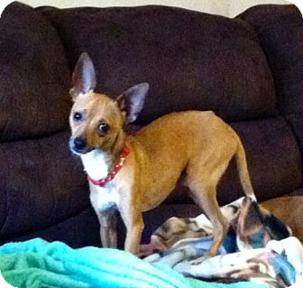 Chihuahua/Miniature Pinscher Mix Dog for adoption in Snyder, Texas - squirt