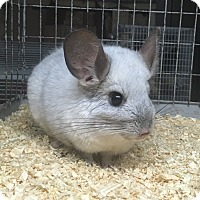 Adopt A Pet :: Snowy - Hammond, IN