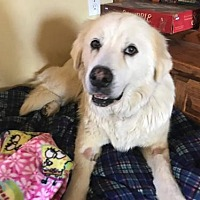 Great Pyrenees Dog for adoption in Whitewright, Texas - Naomi