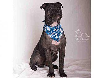 American Staffordshire Terrier Mix Dog for adoption in Salt Lake City, Utah - SHADOW