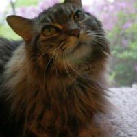 Adopt A Pet :: Bayley - Verona, WI