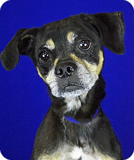 Terrier (Unknown Type, Small)/Spaniel (Unknown Type) Mix Dog for adoption in LAFAYETTE, Louisiana - DORTHY MAE