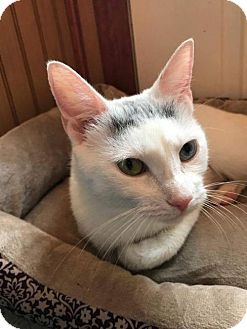 Domestic Shorthair Cat for adoption in Ridgefield, Connecticut - Snowflake