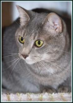 Domestic Shorthair/Domestic Shorthair Mix Cat for adoption in Frederick, Maryland - STORM