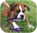 Boxer Dog for adoption in Tallahassee, Florida - Scout