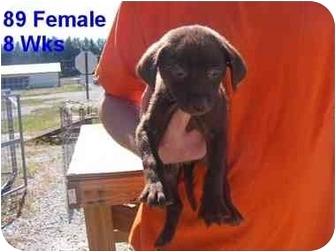Labrador Retriever Mix Puppy for adoption in Rochester, New Hampshire - Carey