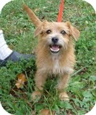 Norwich Terrier Mix Dog for adoption in Portland, Maine - Juliet