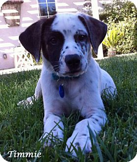 Dalmatian/Pointer Mix Puppy for adoption in Mandeville Canyon, California - Timidy