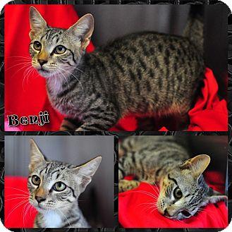 Domestic Shorthair Cat for adoption in Corpus Christi, Texas - Benji